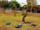 Novo projeto prevê conservação das araras em Três Lagoas