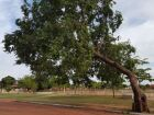 Secretaria remove árvores e justifica: 'é visando a segurança da população'