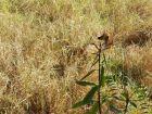 Lobo-guará aparece em terreno e assusta moradores em bairro