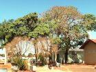 Vizinhos e visitantes contestam possível corte de Ipês em cemitério