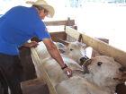Campanha de vacinação da febre aftosa atinge 99% de cobertura em MS