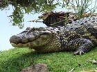 Jacarés começam a ser retirados da Lagoa Maior nesta semana