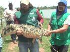 Mais três jacarés são retirados da Lagoa Maior