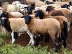 Iagro divulga novas regras para declaração do saldo de caprinos e ovinos