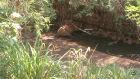 Cavalo morre enforcado ao tentar beber água no Córrego da Onça