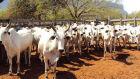 Leilão de bovinos supera meta e arrecada R$ 39 mil