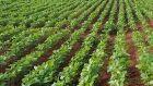 Estado contabiliza alta  da safra de soja deste ano