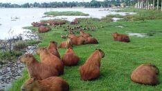 Lagoa pode estar sem alimentos para superpopulação de capivaras