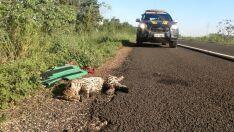 Policiais encontram jaguatirica atropelada na BR-262