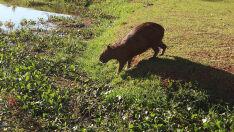 Análise de fezes de capivaras não aponta contaminação por carrapatos