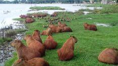 Lagoa abriga mais de 150 capivaras e animais não serão retirados