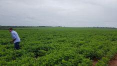 Soja e amendoim iniciam agricultura em Paranaíba