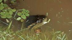 Crianças nadavam no Espelho d'Água dia antes de bote de sucuri em pato