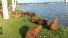 Oito filhotes de capivaras são encontrados mortos na Lagoa Maior