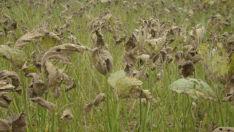 Monitoramento das lavouras de soja controla da ferrugem asiática