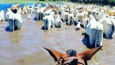 Cheia anormal no Pantanal Sul obriga a retirada urgente do gado