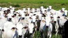 Abate de bovinos registra alta e MS tem 11,1% da participação nacional