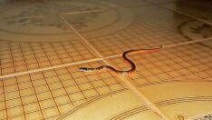 'Visitas' inesperadas de cobras em residências assustam moradores