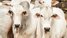 Arroba do boi gordo está em queda por conta do baixo consumo