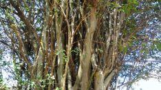 Polícia Militar encontra 'fruta de maconha' em árvore