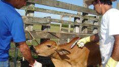 Mato Grosso do Sul deve vacinar 21 milhões de animais contra aftosa