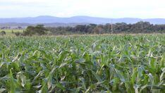 Milho: Quebra de 30% na segunda safra em Mato Grosso do Sul
