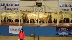 56ª Expopar terá início com leilão do gado Senepol