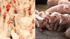 Preços do frango, leite e suínos aumentam após greve dos caminhoneiros
