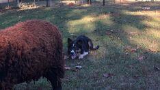 Cães no pastoreio ajudam a melhorar criação de ovelhas e gado