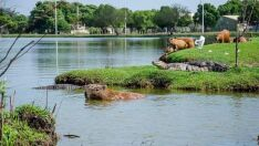 Ibama autoriza retirada de jacarés da Lagoa Maior