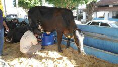 Vaca campeã do Torneio Leiteiro produziu 117 quilos de leite em três dias