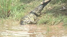 Técnicos da Embrapa capturam jacaré de quase dois metros na Lagoa Maior