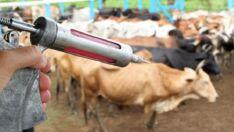 Febre aftosa: Começa segunda etapa da vacina em todo o Brasil