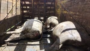 Moradores de Três Lagoas envolvidos em furto de gado são multados em R$ 54 mil