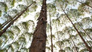 Município de Três Lagoas é o maior produtor de eucalipto do país