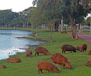 Capivaras e seu habitat