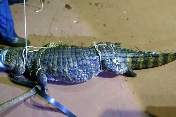Jacaré 'gigante' é capturado na Lagoa Maior