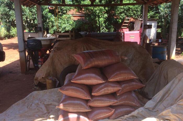 Aldeia Ofaié realiza colheita da planta Urucum