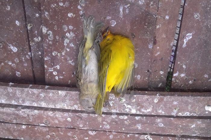 Polícia prende homem com 10 pássaros ilegalmente
