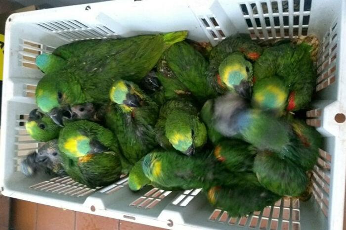 Traficantes de aves foram presos com 24 filhotes de papagaios