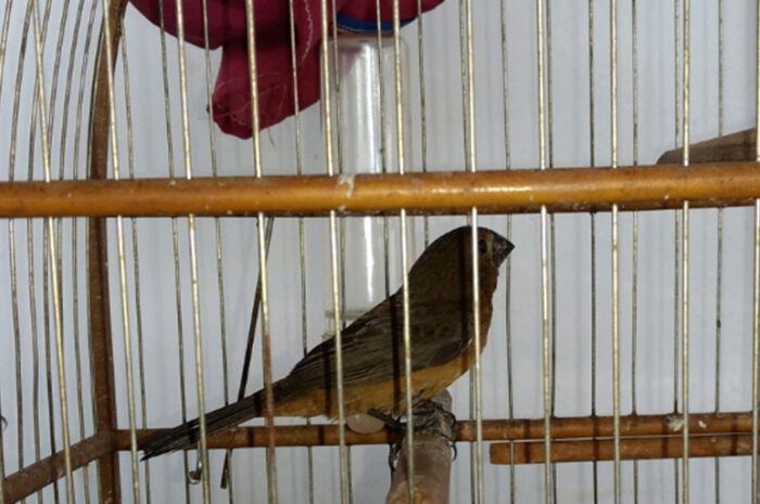 Infratores são multados em R 2 mil por transporte ilegal de aves silvestres