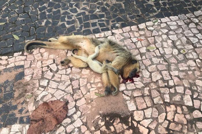 Filhote de macaco 'bugio' é resgatado após mãe ser atropelada
