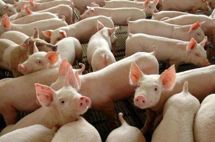 Abate de suínos cresce 6,8% e bate recorde no terceiro trimestre