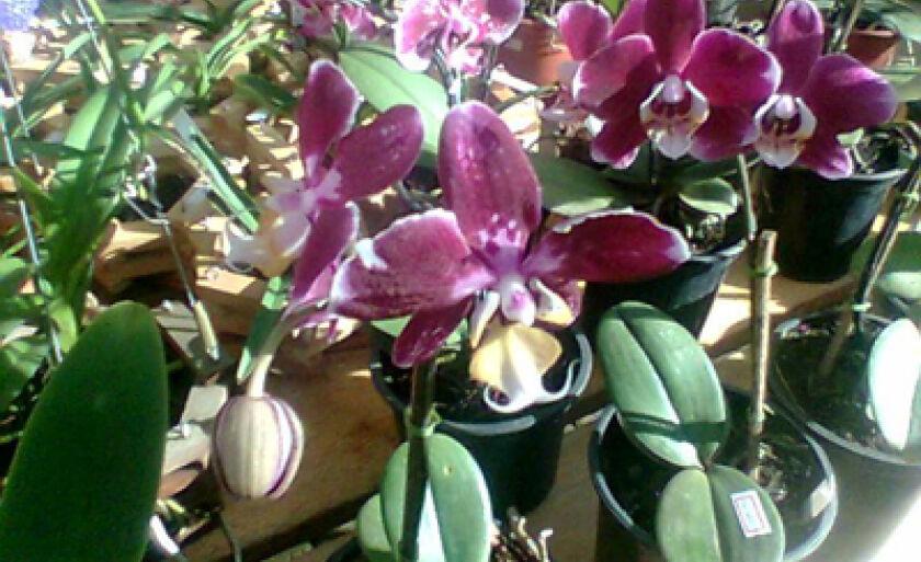 Haverá orquídeas de várias espécies e cores