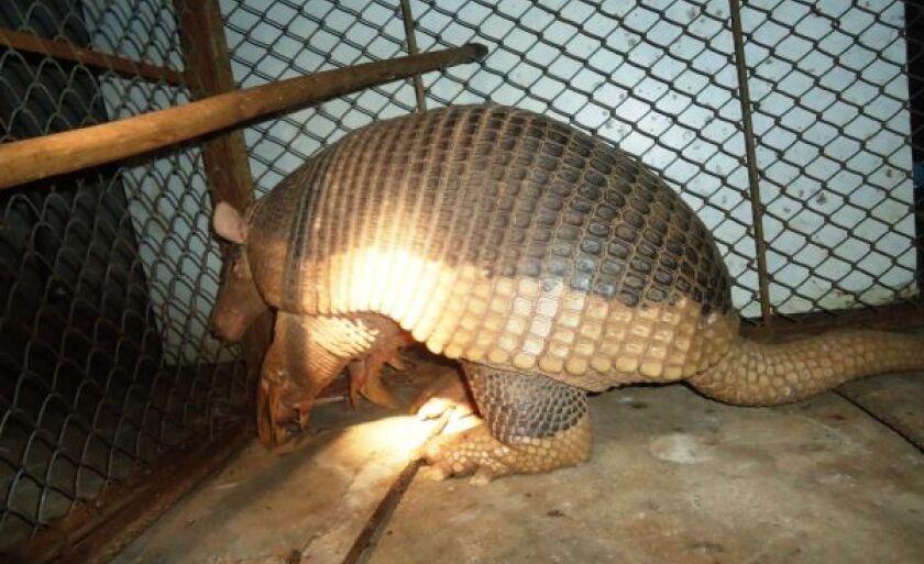 Tatu-canast4ra é uma espécie em extinção