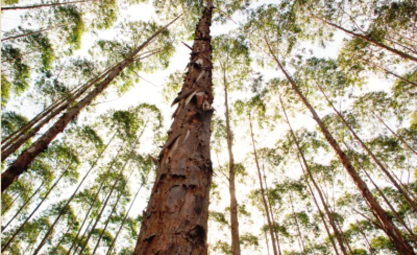 Plantio de eucalipto atende a demanda das duas fábricas de celulose instaladas no município