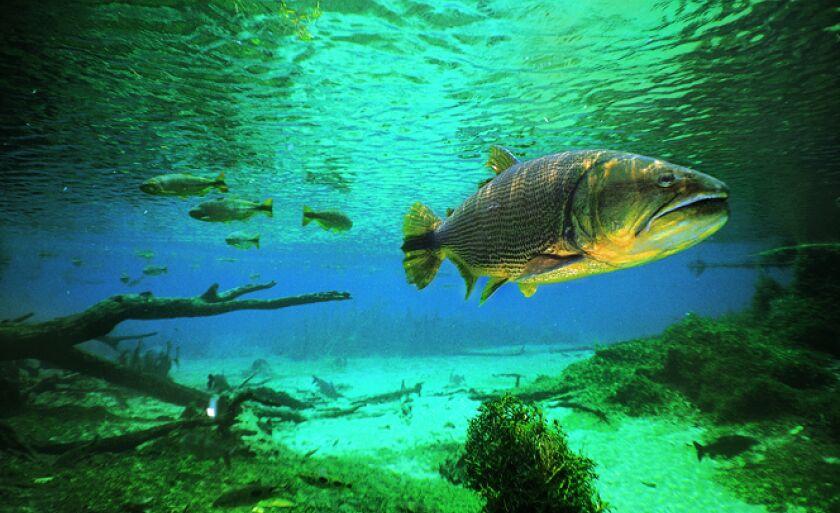 Preocupação de pescadores esportivos e ambientalistas é com a extinção da espécie