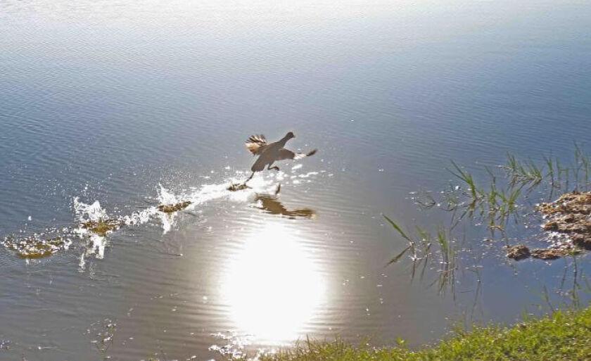 """Na manhã desta sexta-feira (16), uma ave """"brincando"""" na Lagoa Maior atraiu a atenção de muitas pessoas que caminhavam pelo local."""