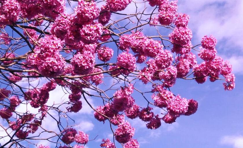 A floração característica dessa espécie costuma acontecer de julho a outubro