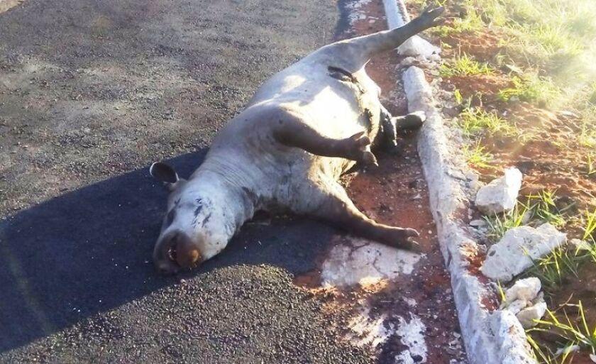 Animal foi atropelado ao tentar atravessar a BR-262